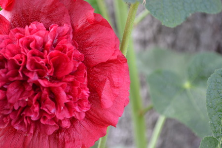 Mallow. Malva. Alcea. Large, curly flowers. The flower similar to a rose. Red, burgundy. Close-up. Sun rays. Garden. Horizontal photo