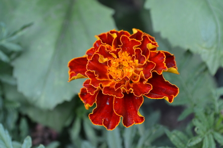 Marigolds. Tagetes. Flowers yellow or orange. Garden. Flowerbed. Growing flowers. Horizontal photo
