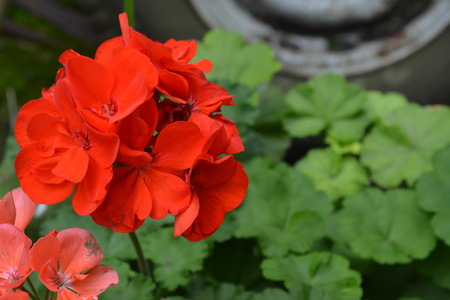 Pelargonium. Garden plants. Geranium red and pink. Flowers. Useful houseplant. Beautiful inflorescence. Close-up. Horizontal