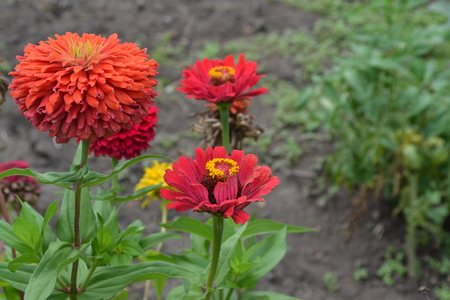 Flower major. Zinnia elegans. Many flowers of different colors - orange, red. Garden. Field. Large flowerbed. Horizontal