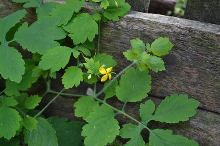 Celandine. Chelidonium majus. Medicinal plant. Green leaves. Yellow flowers. Blurring background. Garden. Horizontal photo