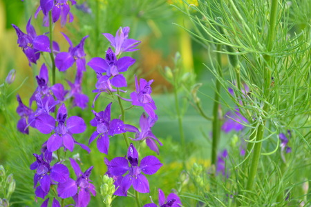 Consolida. Delicate flower. Flower purple. Small flowers on the stem. Among the green leaves. Garden. Field. On blurred background. Horizontal photo