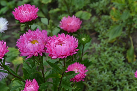 Aster garden. Pink inflorescence. Delicate petals. Horizontal photo. Close-up. Green Garden. Sunny weather Stock Photo
