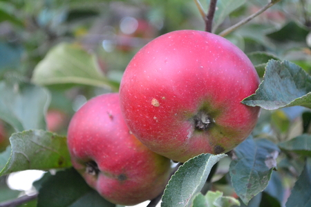Apple. Grade Jonathan. Apples average maturity. Fruits apple on the branch. Apple tree. Agriculture. Growing fruits. Garden. Farm. Horizontal photo Imagens