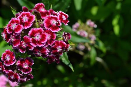 Cloves Turkish. Dianthus barbatus. Garden plants. Flower. Perennial. Close-up. Horizontal photo