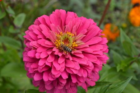 Flower major. Zinnia elegans. Flower pink. Bee. close-up. Garden. Field. Floriculture. Large flowerbed. Horizontal photo Фото со стока