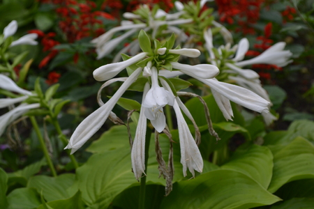 Hosta. Hosta plantaginea. Hemerocallis japonica. Floral bushes. Large leaves are green in color. White flower similar to a lily. Garden. Flowerbed. Flowers. Beautiful plants Stock Photo