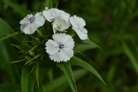 Small inflorescences. Bright colorful background from leaves. Carnation Cloves Turkish. Dianthus barbatus. Close-up