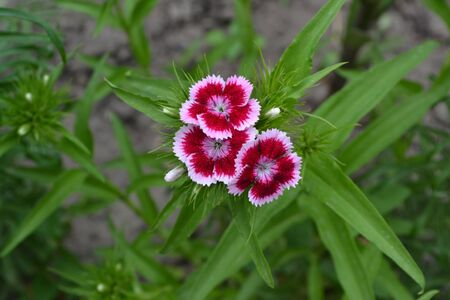 Nice smell. Bright colorful background from green leaves. Carnation Cloves Turkish. Dianthus barbatus. Garden plants. Horizontal photo