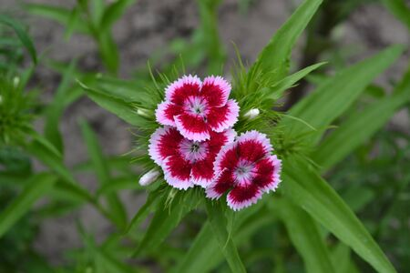 Nice smell. Bright colorful background from green leaves. Carnation Cloves Turkish. Dianthus barbatus. Garden. Horizontal photo