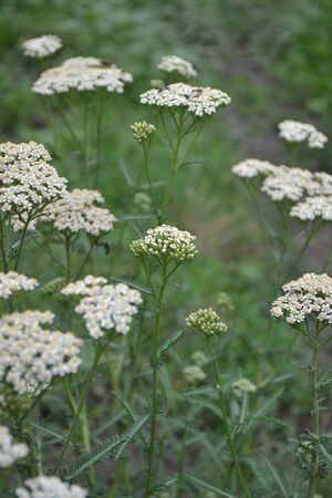 Achillea millefolium, a hairy herb with a rhizome, an Asteraceae family. White flowers surrounded by green leaves. Useful plant. Delicate inflorescences. Vertical photo