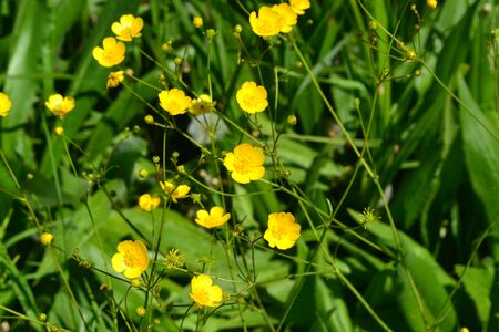 Rannculus acris. Field, forest plant. Flower bed. Yellow flowers. Buttercup is a caustic, common type of buttercups in a temperate climate zone