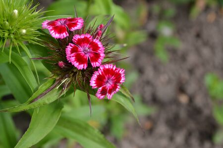 Nice smell. Bright colorful background from green leaves. Carnation Cloves Turkish. Dianthus barbatus. Garden plants. Flower. Close-up. Horizontal photo 写真素材