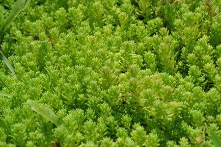 Home garden, flower bed. Gentle green plant. Sedum. Stonecrop. Hare cabbage. Green moss. Decorative grassy carpet. Green flower bed decoration. Garden