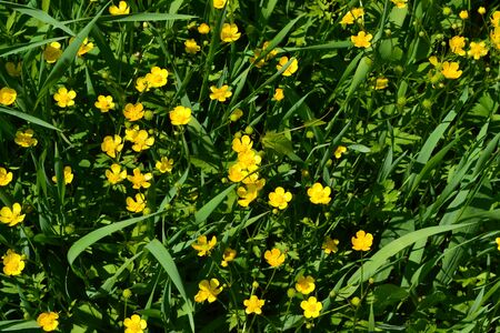 Buttercup caustic, common type of buttercups. Rannculus acris. Field, forest plant. Flower bed, beautiful gentle plants. Sunny summer day. Yellow flowers, green leaves Stock Photo