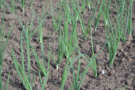 Onion bulb, green sprouts. Widespread vegetable culture. Allium sepa. Perennial herb, family Alliaceae Standard-Bild