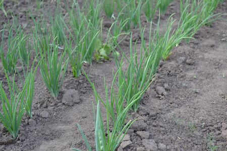 Perennial herb, family Alliaceae. Widespread vegetable culture. Onion bulb, green sprouts. Allium sepa Standard-Bild