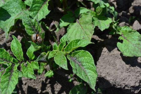 Type of perennial tuberiferous herbaceous plants of the genus Solanum. Solanum tuberosum. Field, farm, village, cultivated plants. Natural homemade products. Potatoes. Colorado beetles, Leptinotarsa decemlineata