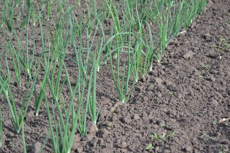 Onion bulb, green sprouts on a black background. Widespread vegetable culture. Spring. Allium sepa. Perennial herb, family Alliaceae