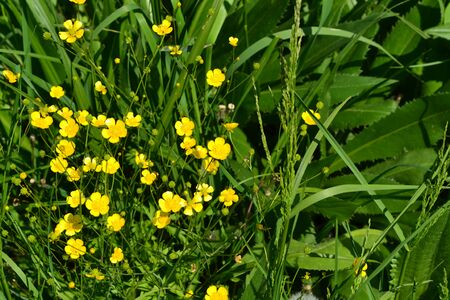 Rannculus acris. Field, forest plant. Flower bed, beautiful gentle plants. Sunny. Yellow flowers. Buttercup is a caustic, common type of buttercups in a temperate climate zone