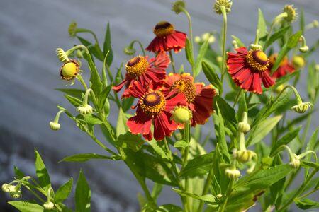 Beautiful summer flower. Home garden, flower bed. Helenium Konigstiger. Helenium. Helenium autumnale. Bush Helenium