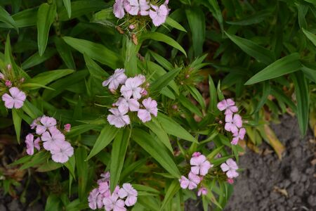 Small tender inflorescences. Nice smell. Bright colorful background from green leaves. Carnation Cloves Turkish. Dianthus barbatus. Garden plants. Close-up