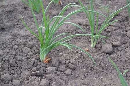 Perennial herb, family Alliaceae. Widespread vegetable culture. Onion bulb, green. Allium sepa Standard-Bild