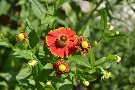 Beautiful summer flower. Home garden, flower bed. Helenium Konigstiger. Helenium. Helenium autumnale. Bush Helenium. Green leaves