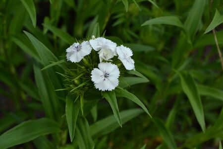 Small tender inflorescences. Nice smell. Bright colorful background from green leaves. Carnation Cloves Turkish. Dianthus barbatus. Garden. Close-up 写真素材