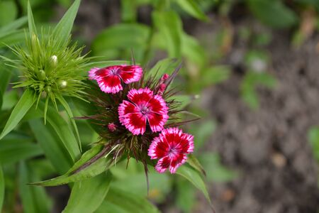 Nice smell. Bright colorful background from green leaves. Carnation Cloves Turkish. Dianthus barbatus. Garden plants. Flower. Perennial. Close-up. Horizontal photo