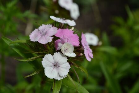Small inflorescences. Bright colorful background from green leaves. Carnation Cloves Turkish. Dianthus barbatus. Close-up 写真素材