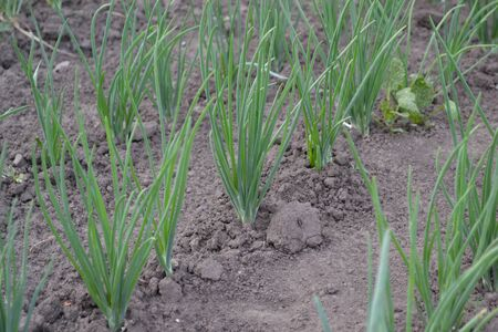 Allium sepa. Onion bulb, green sprouts on a black background. Spring day, home garden. Farm, field. Perennial herb, family Alliaceae. Widespread vegetable culture Standard-Bild