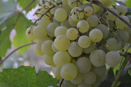 Autumn landscape. Juicy bunches of grapes. Delicious ripe fruits on thin branches. Close-up. Green grapes 免版税图像