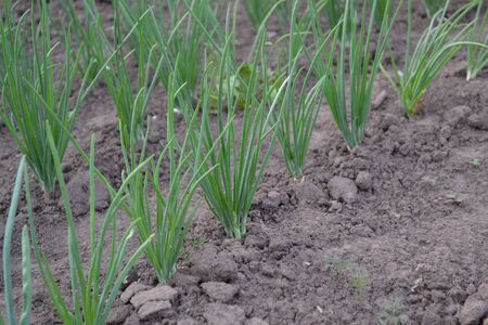 Allium sepa. Onion bulb, green sprouts on a black background. Spring day, home garden. Farm. Perennial herb, family Alliaceae. Widespread vegetable culture Standard-Bild
