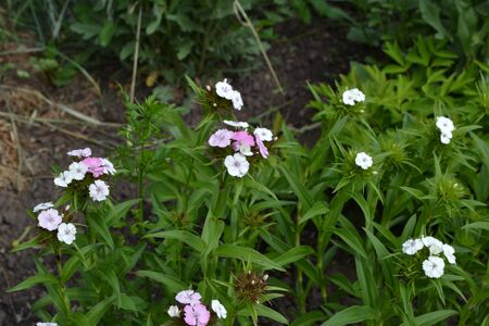 Small tender inflorescences. Nice smell. Bright colorful background from green leaves. Carnation Cloves Turkish. Dianthus barbatus. Garden plants. Flower. Perennial. Close-up