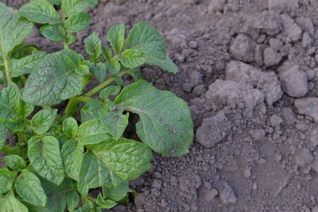 Colorado beetles, Leptinotarsa decemlineata. Potatoes. Type of perennial tuberiferous herbaceous plants of the genus Solanum. Solanum tuberosum. Field, farm, village Banque d'images