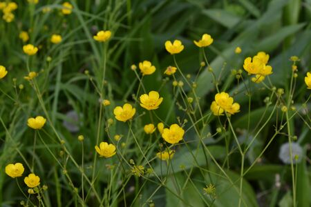 Rannculus acris. Buttercup caustic, common type of buttercups. Field, forest plant. Flower bed, beautiful gentle plants. Sunny summer day. Yellow flowers, green leaves