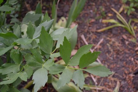 Lovage. Levisticum officinal. Perennial herbaceous plant, monotypic genus of the family Umbrella. Home flowerbed, garden. Medicinal plant. Green shiny leaves Stock Photo