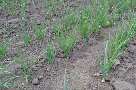 Perennial herb, family Alliaceae. Widespread vegetable culture. Onion bulb. Allium sepa Standard-Bild