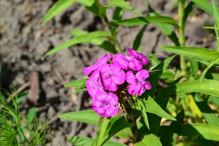 Bright colorful background from green leaves. Carnation Cloves Turkish. Dianthus barbatus. Horizontal photo