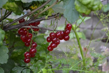 Home. Gardening. Red juicy berries. Red currant, ordinary, garden. Small deciduous shrub family Grossulariaceae Stockfoto