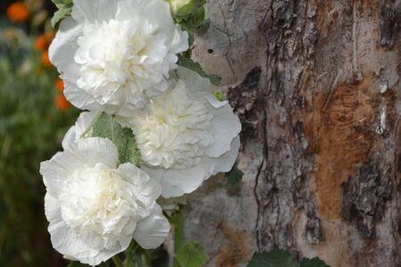 Gardening. Home garden. Mallow. Malva. Alcea Large, curly flowers. White flowers Stock fotó
