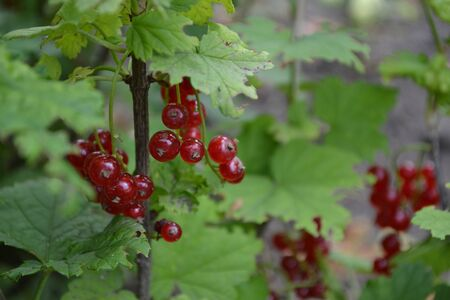 Gardening. Red juicy berries. Red currant, ordinary, garden. Small deciduous shrub family Grossulariaceae Stockfoto