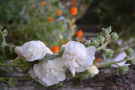 Mallow. Malva. Alcea. Gardening. Home garden, flower bed. House. Large, curly flowers. White flowers Stock fotó