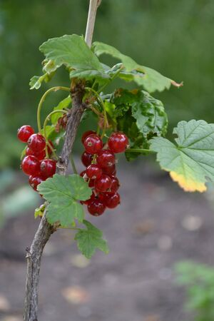Gardening. Red juicy berries. Tasty and healthy. Red currant, ordinary, garden. Small deciduous shrub family Grossulariaceae