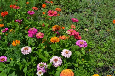 Flower Zinnia. Gardening. Home garden, bed. Zinnia, a genus of annual and perennial grasses and dwarf shrubs of the Asteraceae family. Multicolored