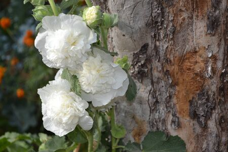 Gardening. Malva. Alcea Large, curly flowers. White flowers Stock fotó