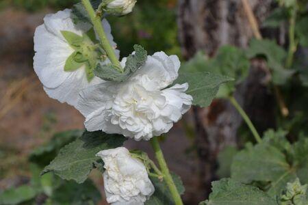 Gardening. Home garden, flower bed. House, field, farm, village. Mallow. Malva. Alcea Large, curly flowers. White flowers Stock fotó