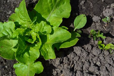 Gardening. Lettuce salad. Lactuca sativa. Annual herbaceous plant. Vegetable. Young shoots