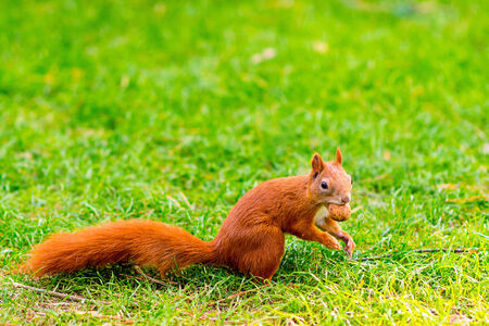 Red sqiurrel on the grass photo